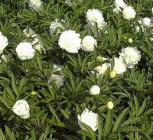 Edelpfingstrose Charlies White - Paeonia lactiflora - Vorschau