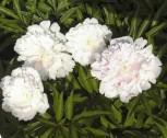 Edelpfingstrose Distinction - Paeonia lactiflora
