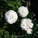 Edelpfingstrose Shirley Temple - Paeonia lactiflora