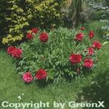 Pfingstrose Rubra Plena - Paeonia officinalis