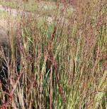 Rutenhirse Heiliger Hain - Panicum virgatum