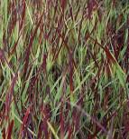 Rutenhirse Külsenmoor - Panicum virgatum
