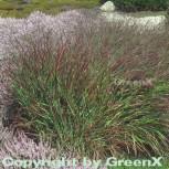 Rutenhirse Rotstrahlbusch - Panicum virgatum