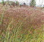 Rutenhirse Warrior - Panicum virgatum