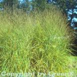 Rutenhirse - Panicum virgatum - Vorschau