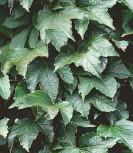 Jungfernrebe Green Sping 40-60cm - Parthenocissus tricuspidata