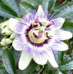 Passionsblume - Passiflora caerulea - Vorschau