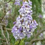 Orchideenbaum 125-150cm - Paulownia fargesii