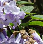 Blauglockenbaum Hulsdonk 100-125cm - Paulownia tomentosa - Vorschau