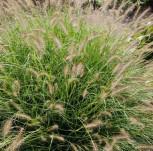 Lampenputzergras Goldstrich - Pennisetum alopecuroides