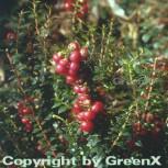 Torfmyrthe rote Beeren - Pernettya mucronata
