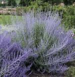 Blauraute Lacy Blue 30-40cm - Perovskia atriplicifolia - Vorschau