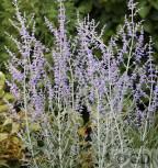 Blauraute Little Spire 40-60cm - Perovskia atriplicifolia