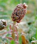 Pestwurz - Petasites hybridus - Vorschau