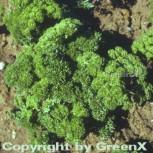 Krause Petersilie - Petroselinum crispum - Vorschau