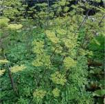 Riesen Haarstrang - Peucedanum verticillare - Vorschau
