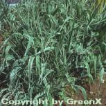 Buntes Glanzgras - Phalaris arundinacea - Vorschau