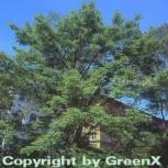 Amur Korkbaum 100-125cm - Phellodendron amurense - Vorschau