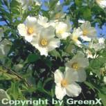 Gartenjasmin Belle Etoile 40-60cm - Philadelphus - Vorschau