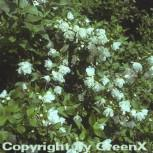Gartenjasmin Manteau d Hermine 30-40cm - Philadelphus