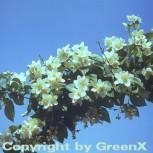 Duftender Bauernjasmin 40-60cm - Philadelphus coronarius - Vorschau