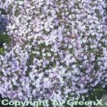 Niedrige Flammenblume Lilac Cloud - Phlox douglasii