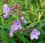 Wiesen Flammenblume Alpha - Phlox Maculata