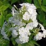 Hohe Flammenblume Fujiyama - Phlox Paniculata - Vorschau