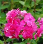 Hohe Flammenblume Fr A. v. Mauthner - Phlox Paniculata