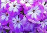 Hohe Flammenblume Wenn schon denn schon - Phlox Paniculata - Vorschau