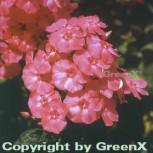 Hohe Flammenblume Redivivus - Phlox Paniculata - Vorschau