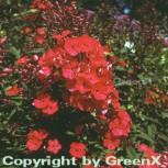 Hohe Flammenblume Starfire - Phlox Paniculata - Vorschau