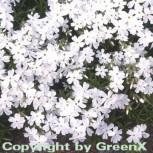 Teppich Phlox White Delight - Phlox subulata - Vorschau