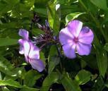Hohe Flammenblume Blue Paradise - Phlox Paniculata - Vorschau