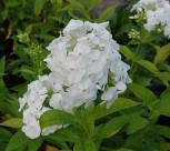 Hohe Flammenblume David - Phlox Paniculata - Vorschau