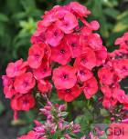 Hohe Flammenblume Fanal - Phlox paniculata - Vorschau