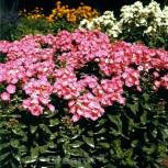 Hohe Flammenblume Olenka - Phlox paniculata