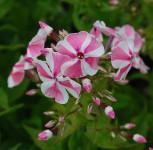 Hohe Flammenblume Pepermint Twist - Phlox paniculata
