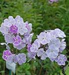 Hohe Flammenblume Prospero - Phlox Paniculata - Vorschau