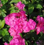 Hohe Flammenblume Rosendom - Phlox paniculata