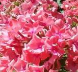 Hohe Flammenblume Windsor - Phlox paniculata - Vorschau
