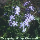 Wilder Phlox Blue Ridge - Phlox stolonifera