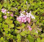 Wilder Phlox Pink Ridge - Phlox stolonifera