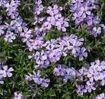 Teppich Phlox Bentia - Phlox subulata