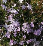Niedrige Flammenblume Early Spring Lavender - großer Topf - Phlox subulata - Vorschau