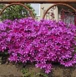 Niedrige Flammenblume Early Spring Purple - großer Topf - Phlox subulata