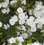Niedrige Flammenblume Early Spring White - großer Topf - Phlox subulata