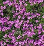 Niedrige Flammenblume Leuchtstern - Phlox subulata - Vorschau