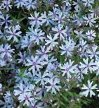 Niedrige Flammenblume Petticoat - Phlox subulata - Vorschau