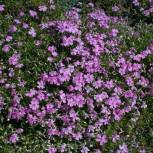 Niedrige Flammenblume Violetta - Phlox subulata
